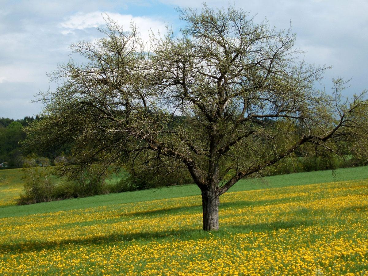 Leuteberg Wiese mit Obstbaum